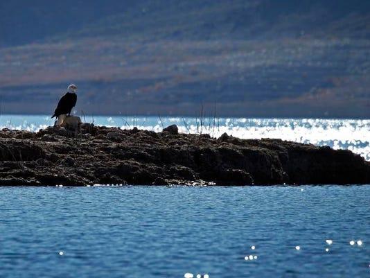 -Bald Eagles-Lake Mead.JPEG-0961d.jpg_20140124.jpg