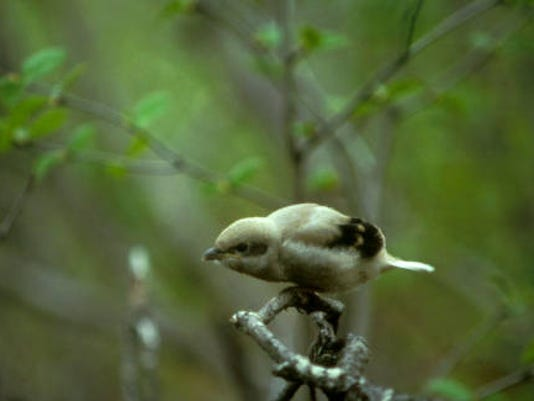 Northern_Shrike(1).jpg