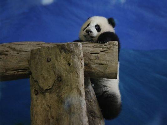 1388995834000-AP-Taiwan-Pandamonium.jpg