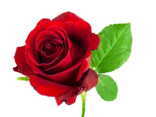rose.new.jpg
