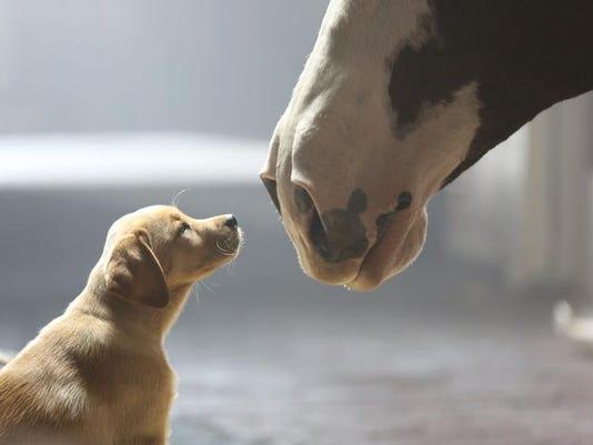 Super Bowl Ad Anheuser-Busch,puppy