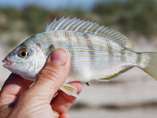 pinfish.jpg