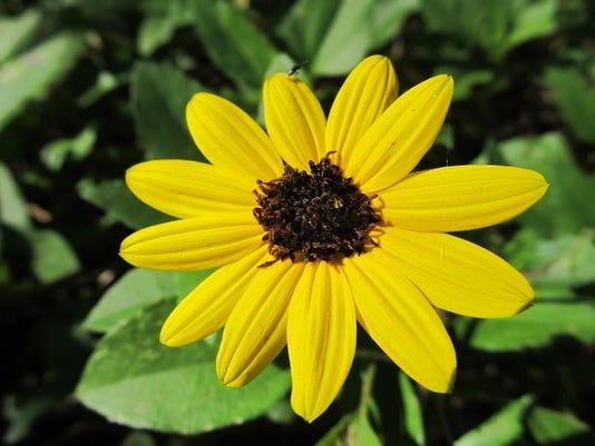 Dune sunflower.JPG
