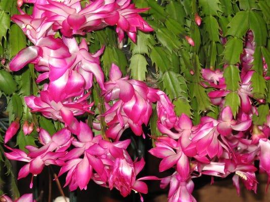 1213 Christmas cactus.jpg