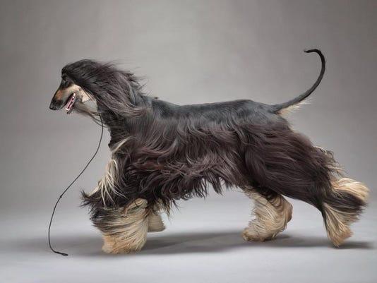 2014 show - photo of afghan hound.jpeg