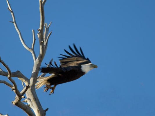 IMG_4521_bald eagle.jpg