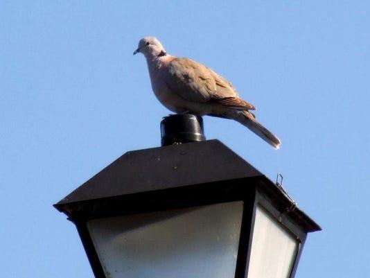 eurasion collared dove_MK.jpeg