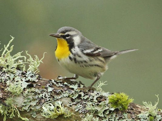 SAL1222-All in Rare warbler