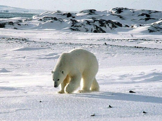 north pole polar bear