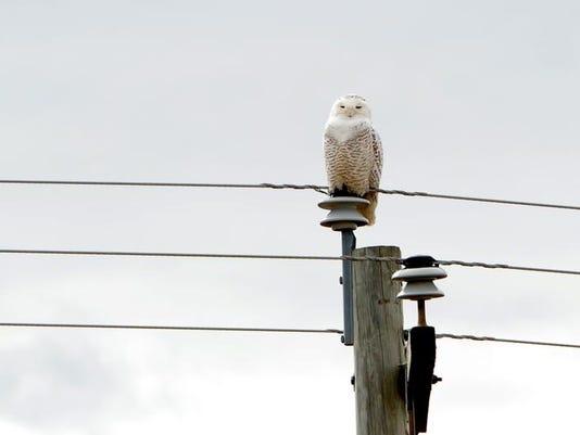Snowy Owl 20849 MTa.jpg