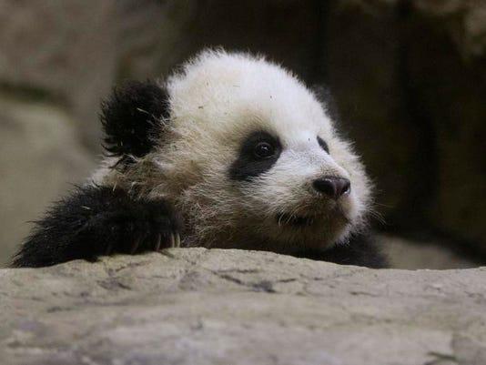APTOPIX National Zoo Panda