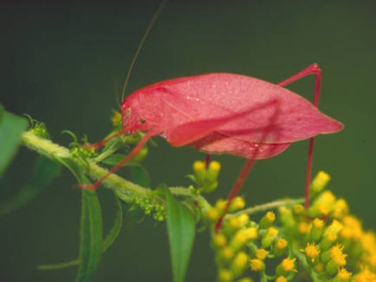 Katydid_on_Early_goldenrod.jpg