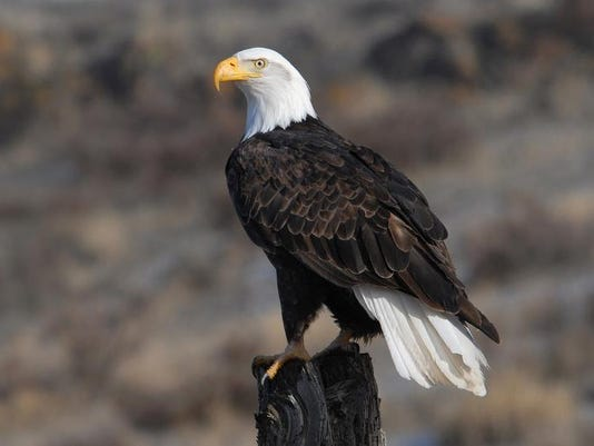 _media_USATODAY_test_2013_12_27__1388178674000-Bald-Eagle (2).jpg
