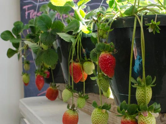 McConnell Farms_Strawberry Plants.jpg