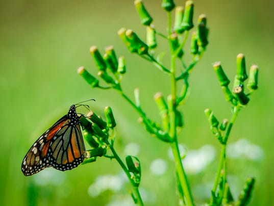 Monarch migration underway