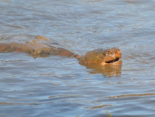 Be careful: a large snapping turtle can really injure