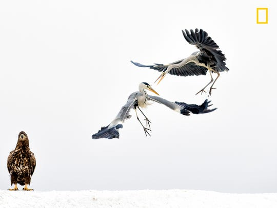 In winter, water birds gather around the holes on the frozen lake. Some catch fish, while the rest are determined to steal fish from the others or even catch water birds. White-tailed eagles are always looking for an opportunity to steal, and they manage to confront and fight with everyone.