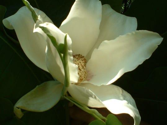 636222517282118884-magnolia-leaf.jpg