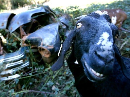 Karen the goat eats blackberry bushes at Minto-Brown