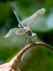 Brian White of Clifton photographed this dragon fly at his back yard pond.