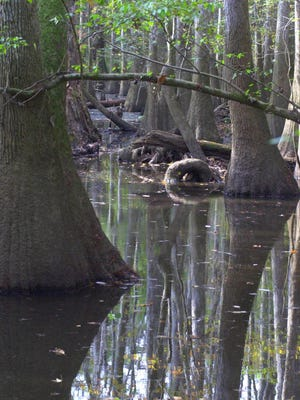 The old-growth forest in Congaree National Park is seen Nov. 18, 2003, near Columbia, S.C.