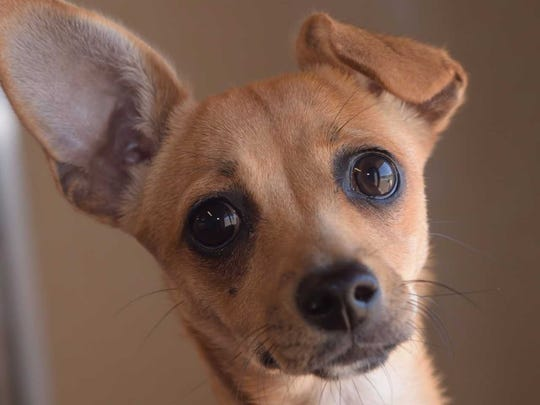 Ginger - Female Chihuahua mix, about 6 months. Intake date: 8/7/2017