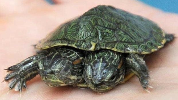 A two-headed turtle, like this file photo, is quite rare, but when two-headed reptiles occasionally surface, it is the result of conjoined-twin births.