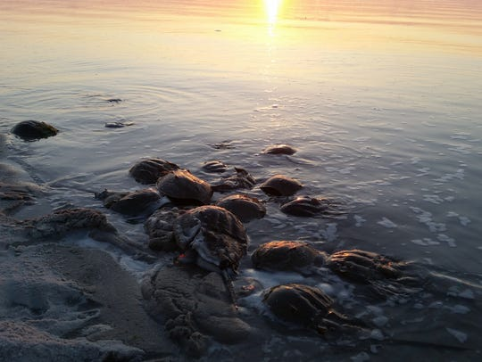 These horseshoe crabs were photographed at the James