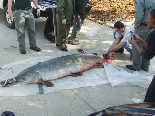 This 327-pound alligator gar was caught in Chotard Lake and is the largest ever documented.