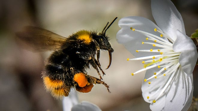 A bumblebee draws nectar from the flowers of a cherry tree in a garden outside Moscow on May 12, 2018.