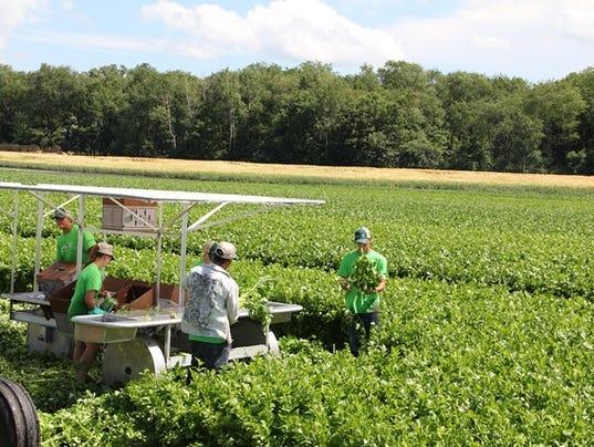 636368643006048359-Harvesting-WI-Celery.JPG