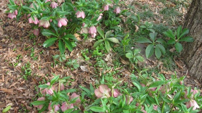 Helebore plant, also known as Lenten Rose, is in bloom.