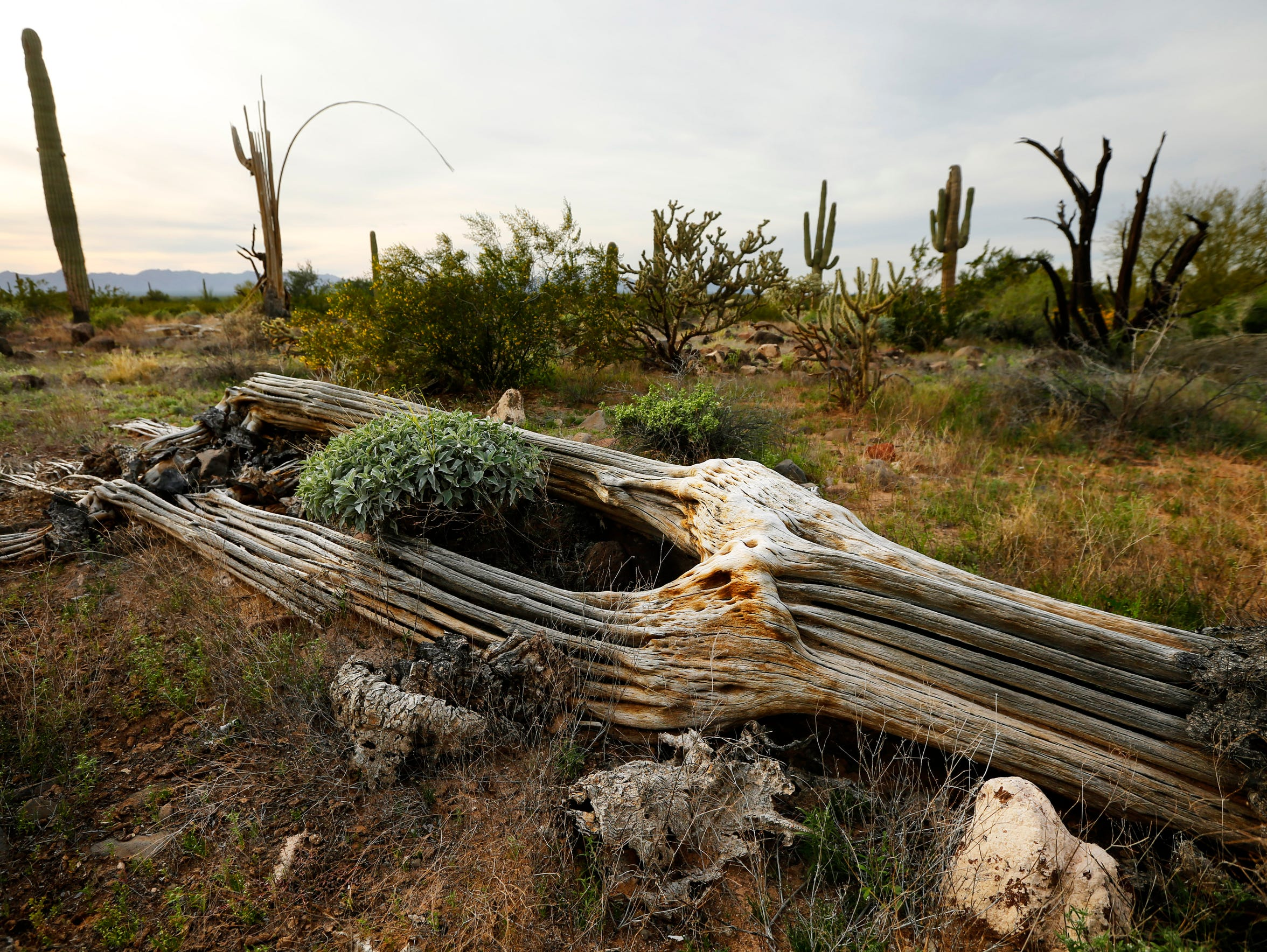 The skeleton of  Saguaro cactus in the Cabeza Prieta