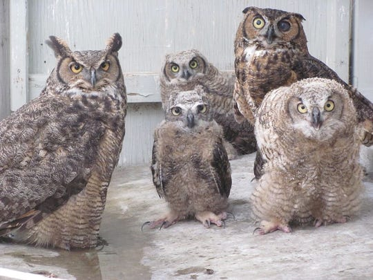 Adult Great Horned Owls help foster baby owls at the Shasta Wildlife Rescue and Rehabilitation Center in Anderson.