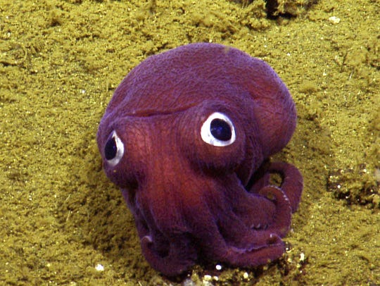 Looking like a child's toy, this stubby squid hunkers down while scientists in the control van of the Nautilus marvel at it during a 2016 exploration. Little did they know that it would become an internet sensation. CONTRIBUTED PHOTO/OCEAN EXPLORATION TRUST