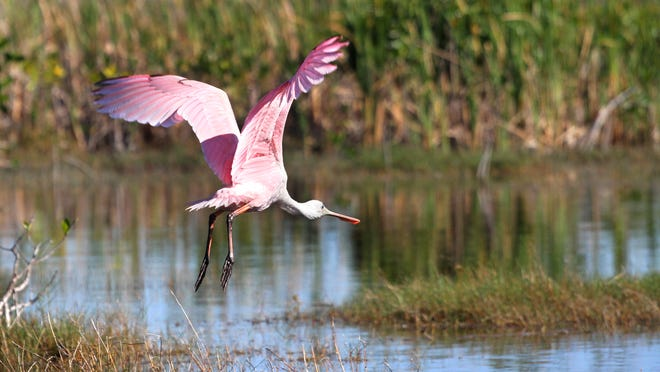 A roseate spoonbill takes flight during a swamp tour with Captain Mitch?s Airboat Tours near Everglades City.  photos by Jack Hardman/Coastal Life A Roseate Spoonbill takes flight during a swamp tour with Captain Mitch's Airboat Tours near Everglades City on Wednesday.