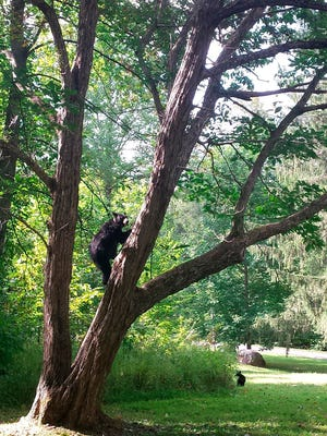 In this Sept. 17, 2015 photo released by the Great Smoky Mountains National Park, a female bear climbs a Chinese chestnut tree in Twin Creeks area Great Smoky Mountains National Park, Tenn.  In what amounts to an innocence project for bears, National Park Service rangers are turning to modern forensic technology, including DNA evidence, to make sure they kill the right bear when a human is attacked in the mountains.