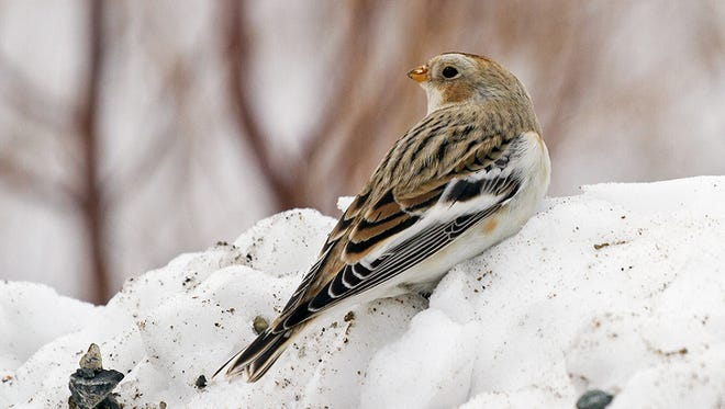 The warm brown stipes on snow buntings are only temporary, and are confined to just the tips of feathers. All winter, the male rubs his feathers on the snow, wearing off the brown tips and revealing his dapper white and jet black courting suit by the time breeding begins. Females also rub off most of their brown tips.