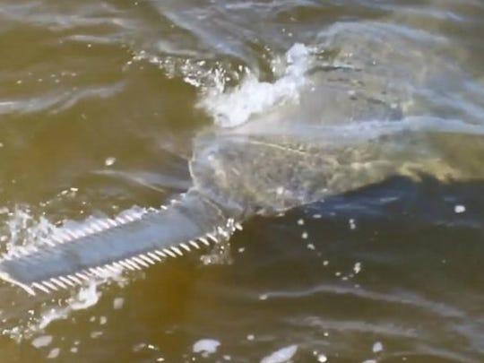 Sawfish, rarely encountered by anglers, spearfishermen and researchers, are on the increase in South Florida waters. This one, estimated at 14 feet in length, was caught and released in 2016 by Capt. Ben Chancey near St. Lucie Inlet in Stuart, Fla. (CONTRIBUTED PHOTO BY BEN CHANCEY OF CHEW ON THIS CHARTERS)