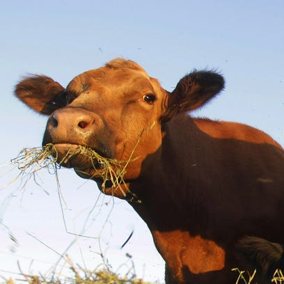 Simmental beef cattle are shown feeding on hay in a