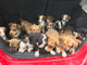 Twenty puppies are up for adoption at Chandler Fashion
