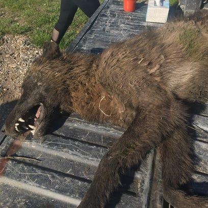 This wolf-like animal was shot on private property