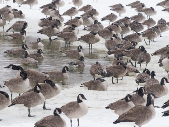 Canada geese huddle along the waters edge at Garvin