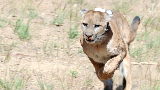 2013 file photo: A mountain lion, caught and tranquilized in south Reno, runs for freedom in the mountains above Carson City.
