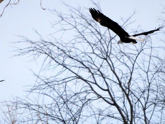 slh eagle pic.JPG