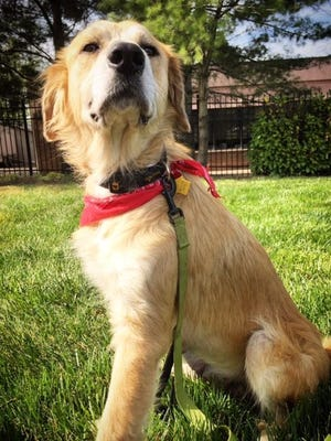 Genesis is a 3½-year-old Great Pyrenees mix looking for her forever home.