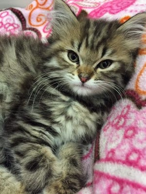 S'Mores is an 8-week-old long-hair tabby looking for her forever home.