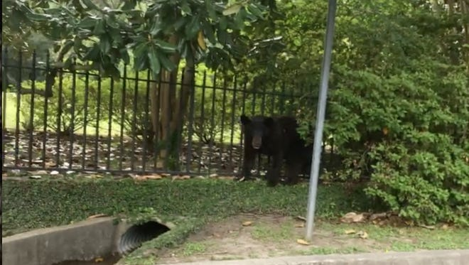 Screenshot of black bear roaming the streets in Natchez.