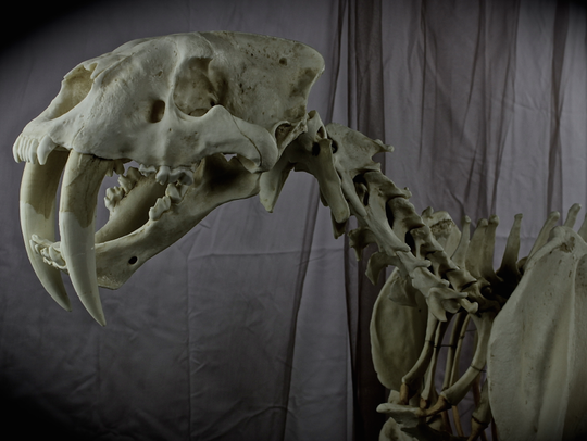 The skeleton of a saber tooth cat will be on display.
