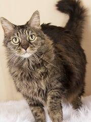 Chey is available at Friends for Life's adoption center at 952 W. Melody Avenue in Gilbert. Contact Friends for Life at 480-497-8296 or email FFLcats@azfriends.org for more information.